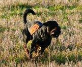 springande-hund